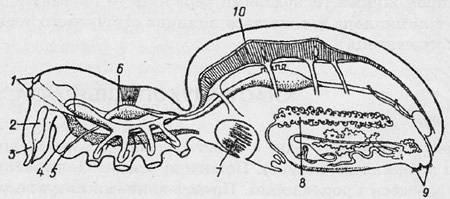 КЛАС ПАВУКОПОДІБНІ (ARACHNIDА)   ТИП ЧЛЕНИСТОНОГІ (ARTHROPODA)   ПІДЦАРСТВО БАГАТОКЛІТИННІ (METAZOA)