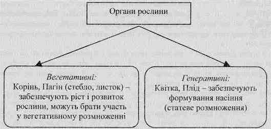 Органи рослин. їхні функції і взаємозвязок. Корінь