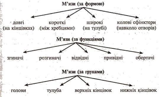 Будова і функції скелетних мязів. Основні групи мязів