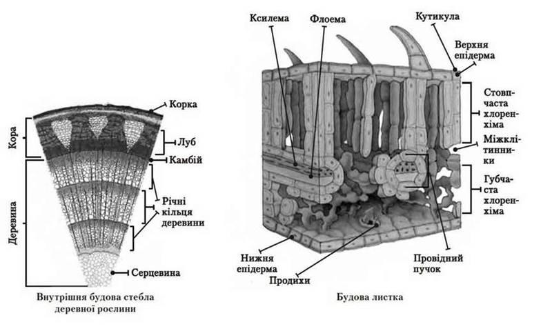 Тканини рослин   Тканини багатоклітинних організмів