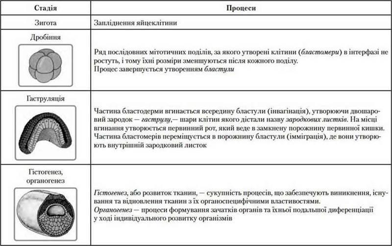 Онтогенез   Індивідуальний розвиток організмів