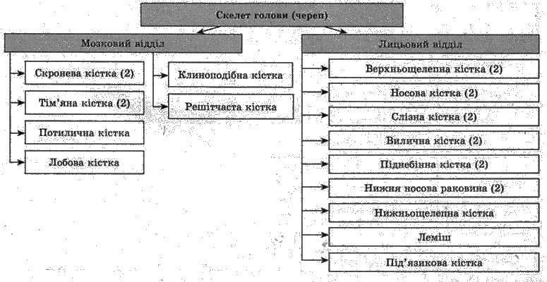 Скелет людини   Будова скелета людини   ОПОРНО РУХОВА СИСТЕМА   БІОЛОГІЯ ЛЮДИНИ