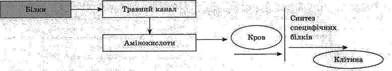 Обмін білків   ОБМІН РЕЧОВИН І ЕНЕРГІЇ   БІОЛОГІЯ ЛЮДИНИ