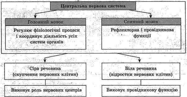Нервова регуляція   РЕГУЛЯЦІЯ ФУНКЦІЙ   БІОЛОГІЯ ЛЮДИНИ
