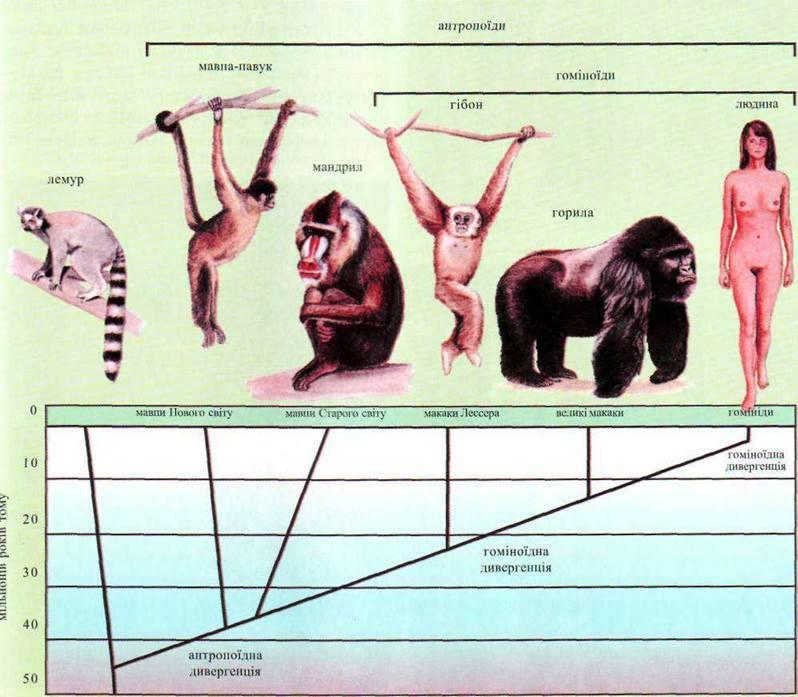Місце виду Ноmо sapiens у системі тваринного світу   Походження людини