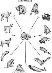Мікроеволюція і видоутворення   Еволюційне вчення   Розмноження та індивідуальний розвиток організмів