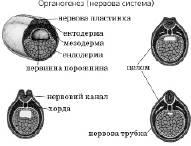 Органогенез   Ембріональний розвиток тварин   Розмноження та індивідуальний розвиток організмів