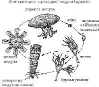 Тип кишковопорожнинні   Підцарство Багатоклітинні   Зоологія