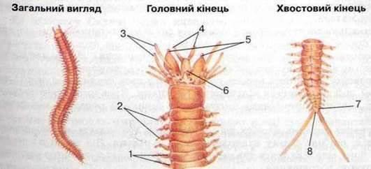Тип Кільчасті черви. Клас Багатощетинкові черви