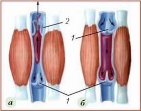 Кровоносні судини. Рух крові по судинах