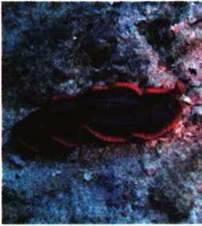 Тип Плоскі черви. Клас Війчасті черви