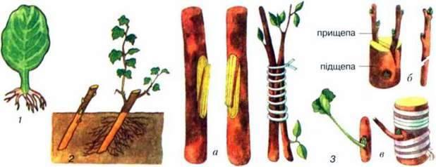 Вегетативне розмноження