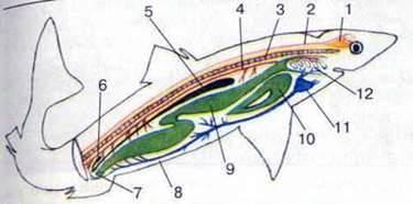 Підтип Хребетні. Клас Хрящові риби: спосіб життя, будова тіла, скелет і системи внутрішніх органів