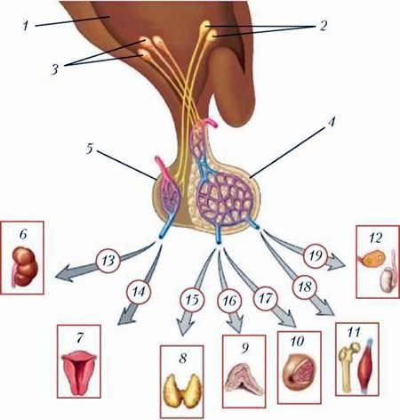 Центральні механізми регуляції ендокринної системи
