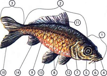 Особливості будови та життєдіяльності кісткових риб
